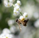 Abelha em flores brancas pequenas na natureza Fotografia de Stock Royalty Free