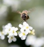 Abelha em flores brancas pequenas na natureza Fotos de Stock