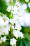 Abelha em flores da árvore de castanha Imagens de Stock Royalty Free