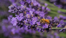 Abelha em flores da alfazema imagem de stock
