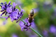 Abelha em flores da alfazema Fotografia de Stock