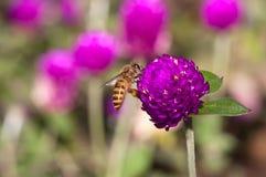 Abelha em flores da cebola vermelha Imagens de Stock Royalty Free