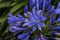 Abelha em flores violetas azuis em um jardim Fotos de Stock Royalty Free