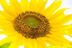 a abelha em um sol bonito do girassol colore flores verdes da natureza Fotografia de Stock Royalty Free