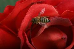 Abelha em uma flor Fotos de Stock Royalty Free