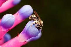 Abelha em uma flor Fotografia de Stock Royalty Free