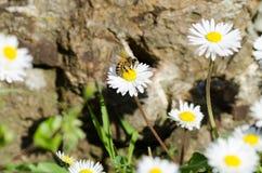 Abelha em uma flor Foto de Stock Royalty Free