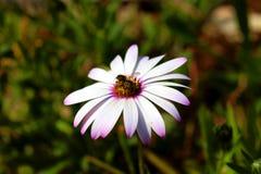 Abelha em uma flor Imagem de Stock