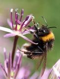 Abelha em uma flor Imagem de Stock Royalty Free