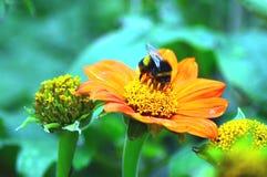 Abelha em uma flor Foto de Stock
