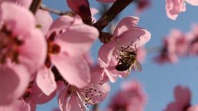 Abelha em uma flor Fotografia de Stock
