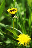 Abelha em uma flor amarela Imagem de Stock