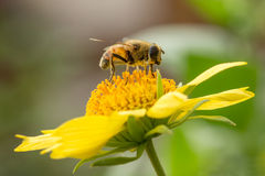 Abelha em uma flor amarela Fotos de Stock