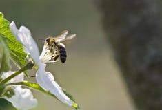 Abelha em uma flor branca Fotos de Stock
