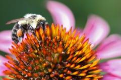 Abelha em uma flor cor-de-rosa Fotos de Stock Royalty Free