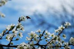 Abelha em uma flor das flores de cerejeira brancas foto de stock