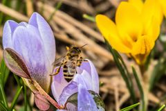 Abelha em uma flor de florescência do açafrão da mola Fotos de Stock