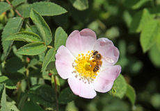 A abelha em uma flor de selvagem aumentou Foto de Stock Royalty Free
