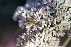 Abelha em uma flor do Stonecrop de Sedum na flor imagens de stock royalty free