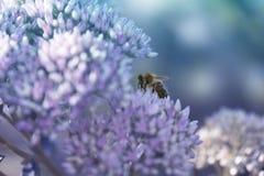 Abelha em uma flor do Stonecrop de Sedum na flor foto de stock royalty free