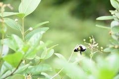 Abelha em uma flor e nas folhas Imagens de Stock