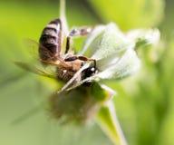 Abelha em uma flor na natureza Fotos de Stock