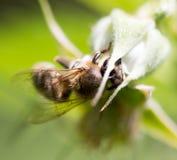 Abelha em uma flor na natureza Fotos de Stock Royalty Free