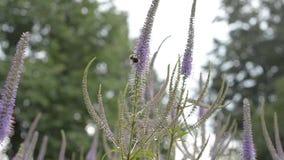 A abelha em uma flor no verão, rastejando poliniza O conceito da prote??o de natureza video estoque