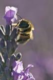 Abelha em uma flor roxa Foto de Stock Royalty Free