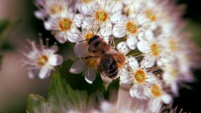 A abelha em uma inflorescência branca na mola recolhe o pólen Monogyna do crataegus na mola As inflorescência brancas balançam no video estoque