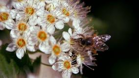 A abelha em uma inflorescência branca na mola recolhe o pólen Monogyna do crataegus na mola As inflorescência brancas balançam no vídeos de arquivo