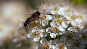 A abelha em uma inflorescência branca na mola recolhe o pólen Monogyna do crataegus na mola As infloresc?ncia brancas balan?am no filme