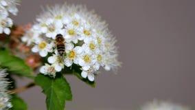 A abelha em uma inflorescência branca na mola recolhe o pólen Monogyna do crataegus na mola As infloresc?ncia brancas balan?am no video estoque