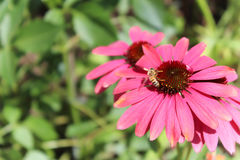 Abelha em uma margarida cor-de-rosa Imagens de Stock