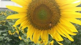 A abelha está colhendo o pólen do girassol video estoque