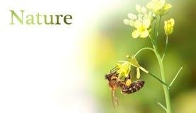 A abelha está na flor Fotografia de Stock