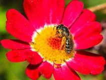 A abelha está recolhendo o néctar de uma flor vermelha Imagens de Stock Royalty Free