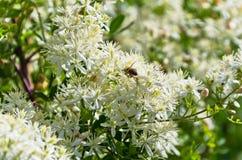 A abelha está recolhendo polen de uma planta mediterrânea com as flores brancas bonitas na manhã ensolarada em Sithonia Imagens de Stock