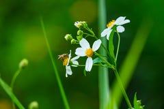 Abelha & flor Fotos de Stock