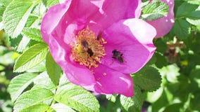 A abelha, hoverfly e para voar para recolher o pólen da flor cor-de-rosa do cão aumentou vídeos de arquivo
