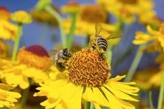 A abelha macro do inseto recolhe o pólen em uma flor (o foco seletivo) Fotografia de Stock