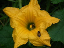 A abelha maravilhosa Fotos de Stock Royalty Free