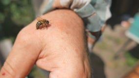 A abelha mordeu o apicultor, remove corretamente a picada Abelha Sting - uma arma da defesa e do ataque filme