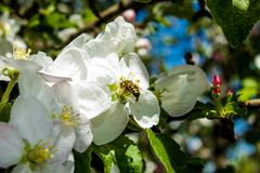 Abelha na árvore de maçã das flores brancas Imagens de Stock Royalty Free