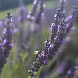 Abelha na alfazema, Provence fotografia de stock royalty free