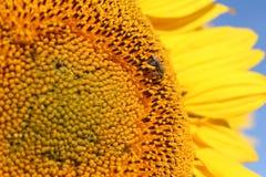 Abelha na cabeça do girassol com as pétalas no fundo Fotos de Stock