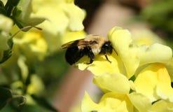 Abelha na ervilha doce amarela Imagens de Stock