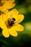 Abelha na flor Imagens de Stock