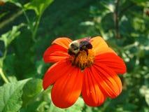 Abelha na flor Imagem de Stock Royalty Free