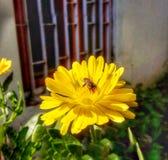 A abelha na flor foto de stock royalty free
